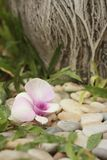 Orchid flower on the background of rocks in garden Royalty Free Stock Image