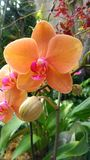 Orchid flower. Beautiful orchid flower in bloom Stock Photos