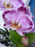 Orchid. Flower orchid beautiful purple nature stock images