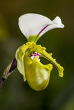 Orchid Flower. The beauty of the orchid Royalty Free Stock Image