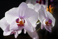 Orchid Flower. On black background Royalty Free Stock Images