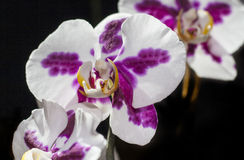 Orchid Flower. On black background Royalty Free Stock Image