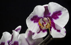 Orchid Flower. On black background Stock Photos