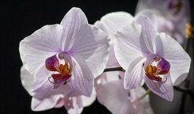 Orchid Flower. On black background Stock Images