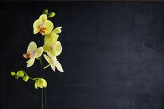 Orchid flower in the black background. One yellow orchid flower in the black background royalty free stock photos