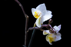 Orchid flower on a black background Royalty Free Stock Photography