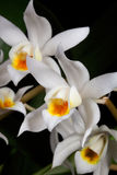 Orchid flower on black (Coelogyne mooreana) Stock Photos
