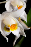 Orchid flower on black (Coelogyne mooreana) Royalty Free Stock Photography