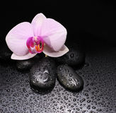 Orchid flower with black stones Stock Photography