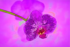 Orchid Flower In Bloom Against A Purple Background. Close up of an orchid flower bloom showing macro detail of the stamen in the center of the petals Stock Images
