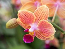 Orchid flower. Orchid bloom in the winter season Stock Photo