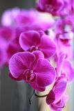 Orchid flower in blooming Royalty Free Stock Images