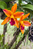 Orchid flower blooming of Cattleya hybrids on tree. Royalty Free Stock Photography