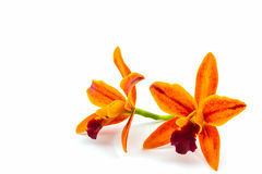 Orchid flower blooming of Cattleya hybrids white on background. Stock Photography