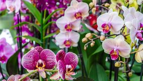 Orchid flower blossom Royalty Free Stock Images