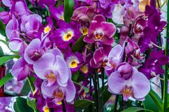 Orchid flower blossom Royalty Free Stock Photos