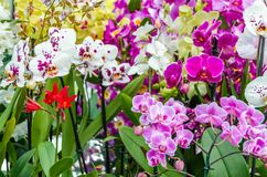 Orchid flower blossom. Colorful orchid flower blossom background Royalty Free Stock Photography