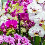 Orchid flower blossom. Colorful orchid flower blossom background Royalty Free Stock Photo