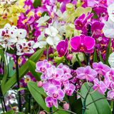 Orchid flower blossom. Colorful orchid flower blossom background Stock Images