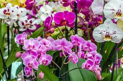 Orchid flower blossom Royalty Free Stock Photo