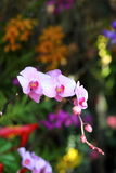 Orchid flower blossom in garden Royalty Free Stock Image
