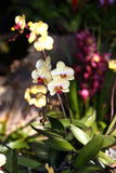 Orchid flower blossom in garden Stock Images