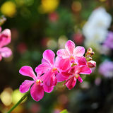 Orchid flower blossom in garden Stock Image