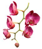 Orchid flower branch. On white background Royalty Free Stock Photos