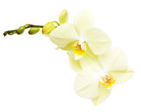 Orchid flower branch Stock Photos
