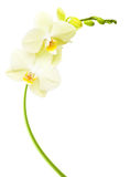 Orchid flower branch isolated Royalty Free Stock Images