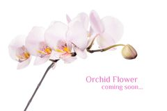 Orchid flower branch isolated on white background Stock Photography
