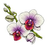Orchid flower branch. Royalty Free Stock Photo