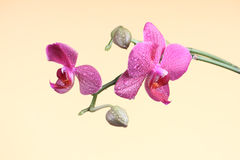 Orchid flower with bud at the branch Stock Photography