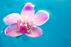 Orchid flower and clean blue water Stock Photo