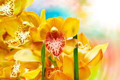 Orchid flower close up Stock Photography