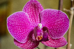 Orchid flower close up. Close-up of beautiful vibrant pink blossom orchid royalty free stock photos