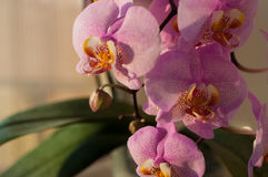 Orchid flower close-up Royalty Free Stock Images