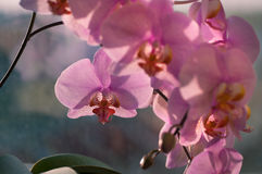 Orchid flower close-up Royalty Free Stock Photography
