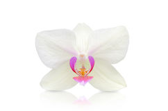 Orchid flower. Close-up isolated on white background Stock Photo