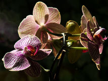 Orchid  flower close up Royalty Free Stock Photo