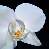 Orchid flower closeup Stock Photos