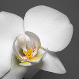 Orchid flower closeup Stock Images