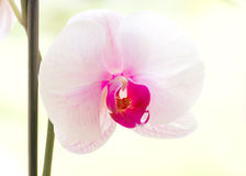 Orchid flower closeup Royalty Free Stock Image