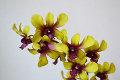 Orchid - flower detail stock image