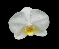 Orchid flower in the dew drops Stock Image