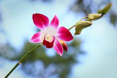 Orchid flower. Royalty Free Stock Image
