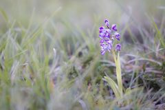 Orchid flower in French countryside royalty free stock photos