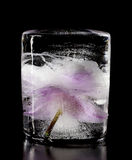 Orchid flower frozen in ice cubes. Royalty Free Stock Photography