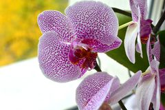 Orchid flower in garden at autumn day for postcard beauty and agriculture idea concept design. Phalaenopsis orchid stock photography
