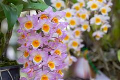 Orchid flower in orchid garden at winter or spring day for beauty and agriculture concept design. Dendrobium lindleyi Orchidaceae royalty free stock photos